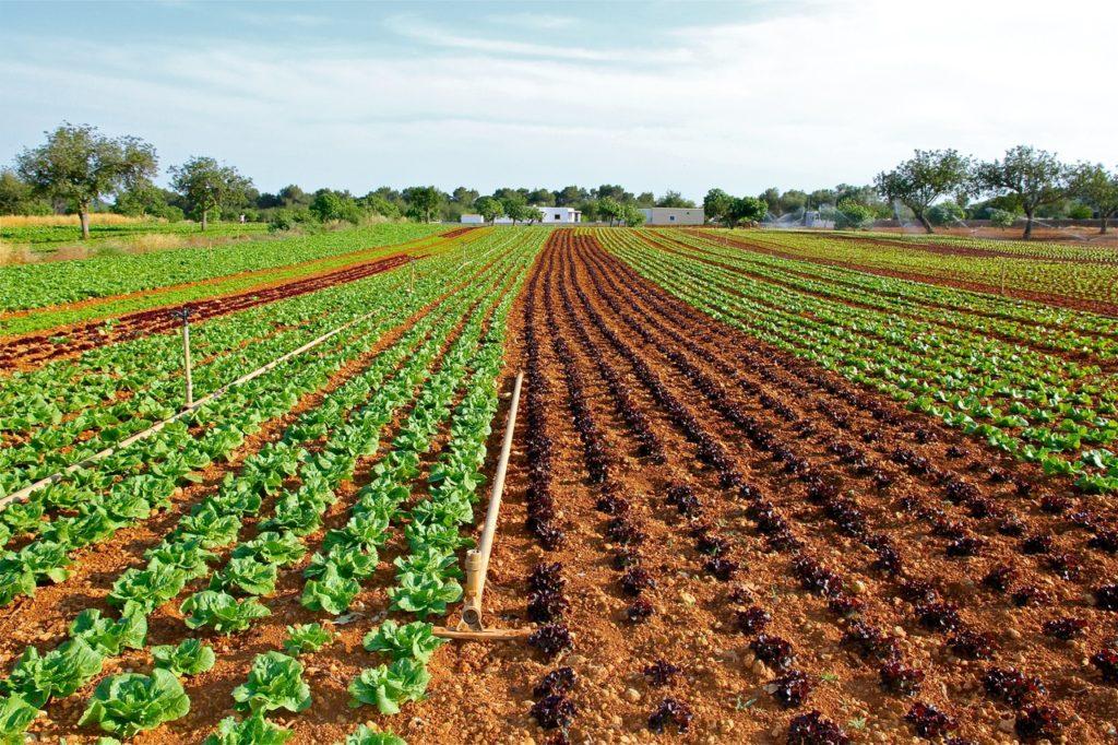 엽산 부작용 - 엽산이 풍부한 채소가 심어져 있는 밭