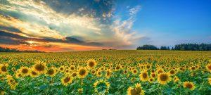 레시틴 효능 - 해바라기 꽃 밭